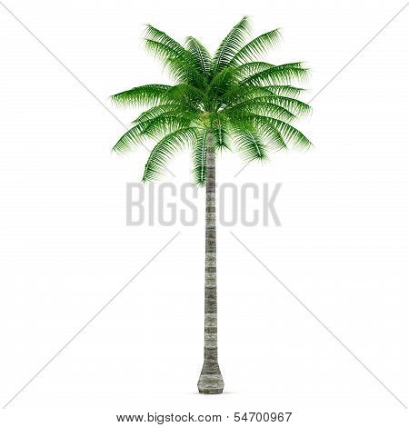 Palm plant tree isolated. Cocos nucifera
