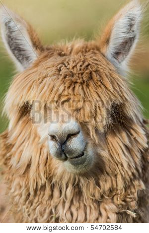 alpaca portrait in the peruvian Andes at Cuzco Peru