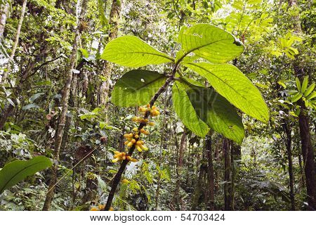 Flowering plant in the rainforest understory