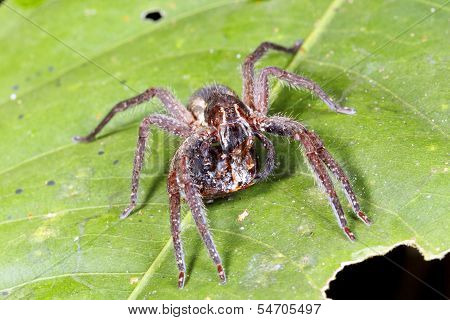 Wandering spider (family Ctenidae)