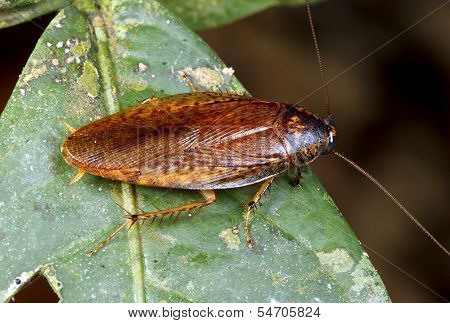 Amazonian cockroach
