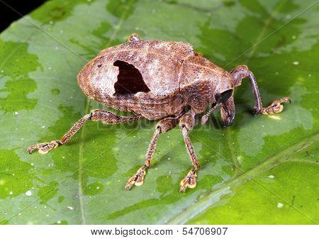 Weevil (family Curculionidae)