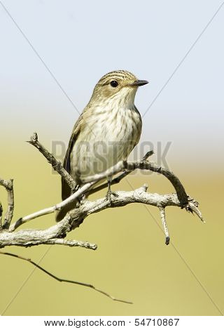 Spotted flycatcher, Muscicapa striata, single bird on branch