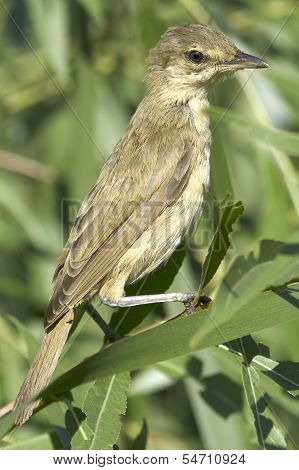 an immature of great reed warbler ( Acrocephalus arundinaceus ) in a natural habitat