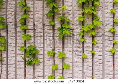 Climbing plants on the wall