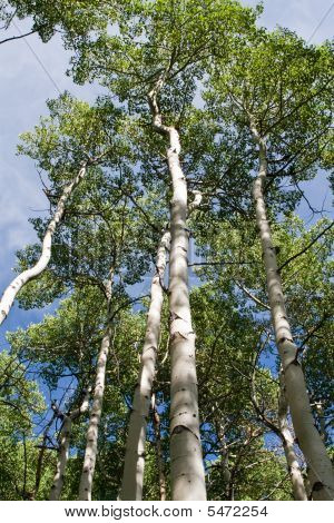 Looking Up At Quaking Aspen Trees
