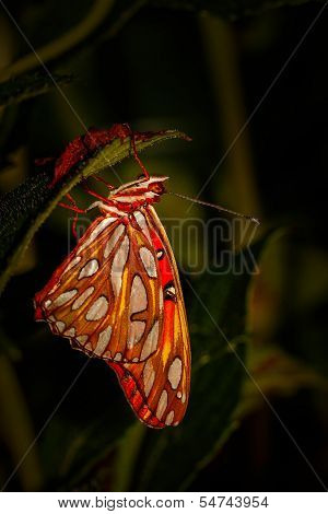 Red and brown admiral butterfly