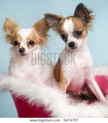 Two Chihuahuas Dogs
