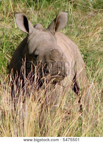 Small Rhinoceros