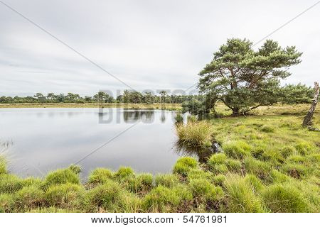 Scots Pine At The Edge Of A Natural Pond