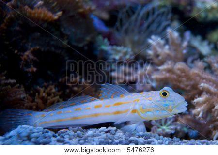 Diamond Goby Fish in Aquarium