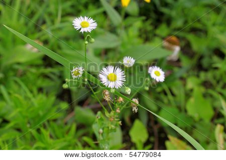 White flower chamomile roman.
