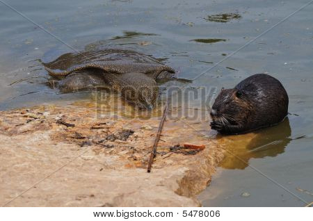 Giant Turtle And Otter