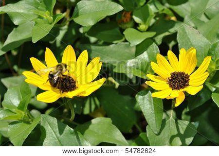 Beach sunflower