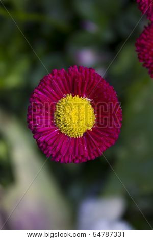 Beautiful Pink Flower With Yellow Center