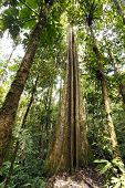 pic of epiphyte  - Giant rainforest tree with buttressed roots and fluted trunk Ecuador - JPG