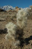 stock photo of mt whitney  - cholla cactus and a view of mt - JPG