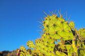 foto of nopal  - Green Prickly Pear Cactus Leaf in the Desert - JPG