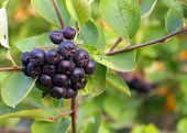 stock photo of aronia  - Black Chokeberries (Aronia) on bush in garden