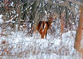 stock photo of deer rack  - Whitetail Deer Buck standing in a woods.