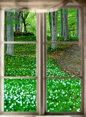 pic of windflowers  - Forest with aspen trees and windflowers in spring viewed through old window - JPG