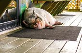 stock photo of sluts  - Sleeping pet pig outside on the porch - JPG