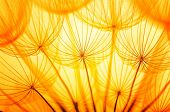 foto of dandelion seed  - Dandelion seed in golden sunlight - JPG