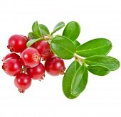Cowberry Lingonberry (Vaccinium vitis-idaea) isolated on white background