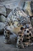 picture of snow-leopard  - Beautiful Snow Leopard on a snow covered rocks - JPG