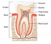 stock photo of human neck  - tooth medical anatomy with words - JPG