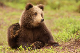 picture of bear-cub  - Animals - JPG