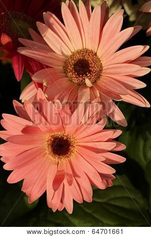 Gerbera daisy up close