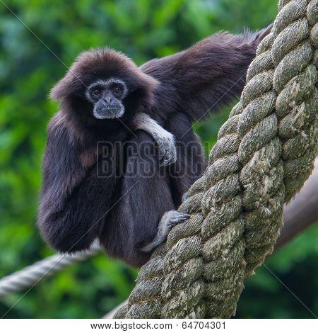 Lar Gibbon, Or A White Handed Gibbon