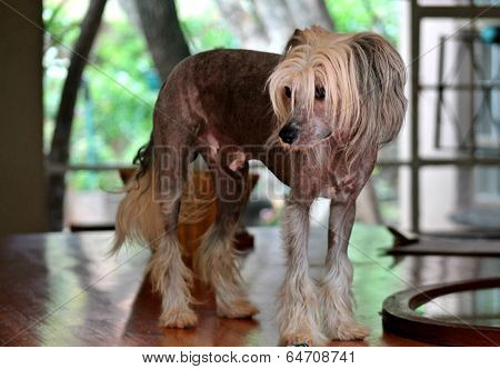 Pet Hairless Chinese Crested Dog Indoors