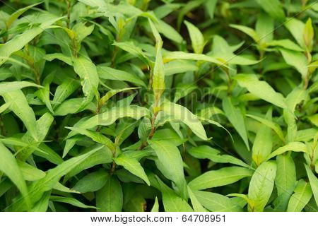 Vietnamese mint trees in garden