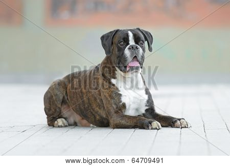 Boxer Dog Poses In A Street