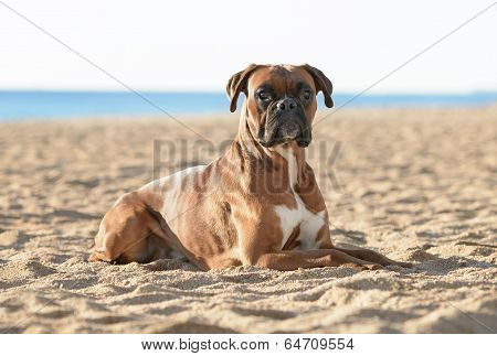 Boxer Dog At The Beach