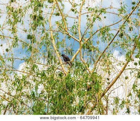 Starling On The Branches Of A Weeping Willow
