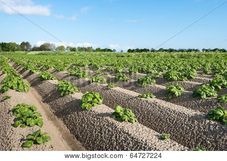 Young And Fresh Green Potato Plants Close