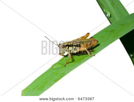 Grasshopper On Grass-blade