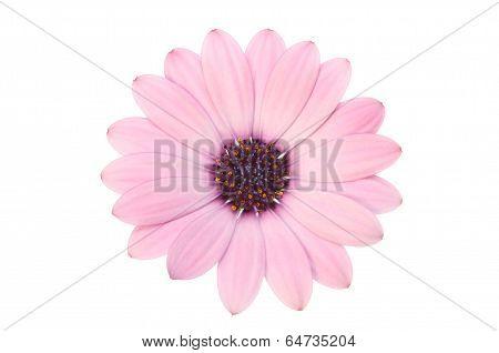 Pink Osteospermum