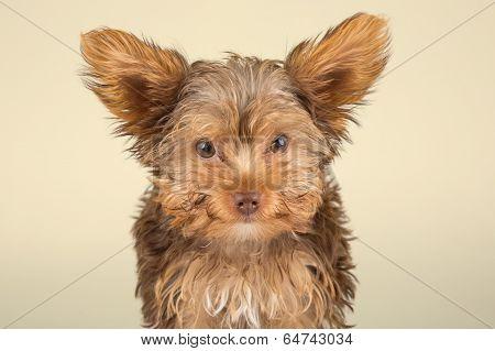 Yorkshire Terrier Puppy Standing In Studio Looking Inquisitive Beige  Background
