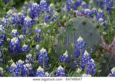 Cactus In Bluebonnets