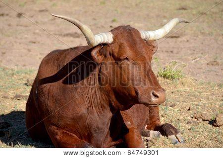 The Texas Longhorn