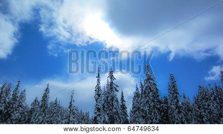 Snow on the evergreens below blue sky.