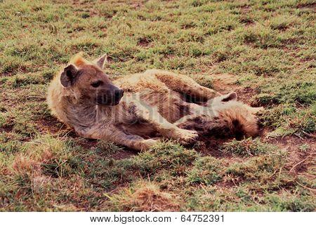 Hyena, Spotted (Crocuta c.)