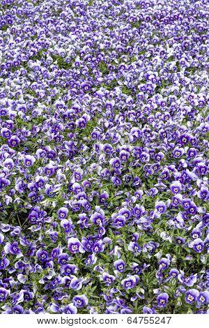 Horned violet flowers in spring as background