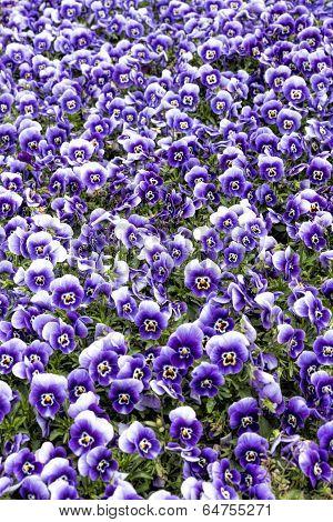 Horned violet flowers as background