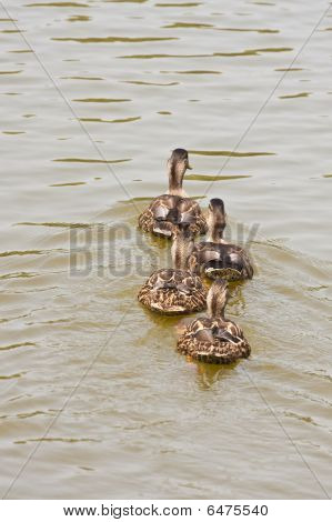 Four Ducks Swimming Away