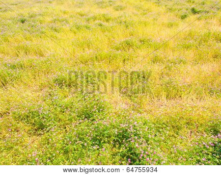 Field Of Chinese Milk Vetch Are In Bloom In The Spring
